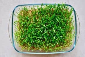 Homegrown wheatgrass in a square glass container