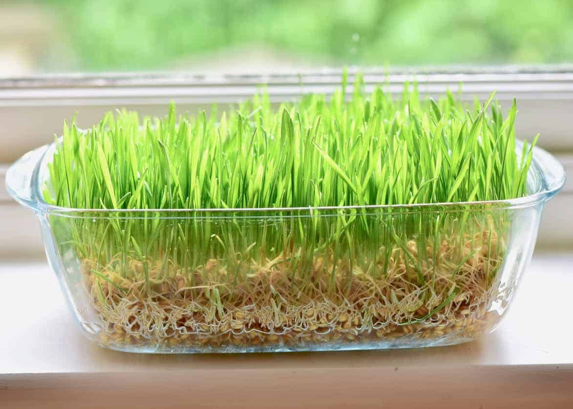 wheatgrass grown in a container with no soil