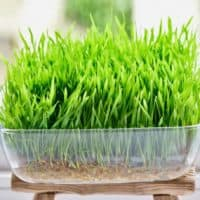 How to grow wheatgrass at home with and without soil, plus the benefits and uses of wheatgrass