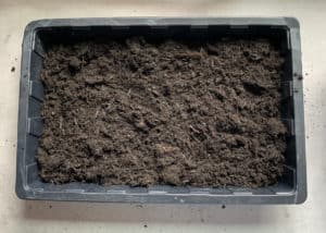 A tray with soil for growing wheatgrass at home