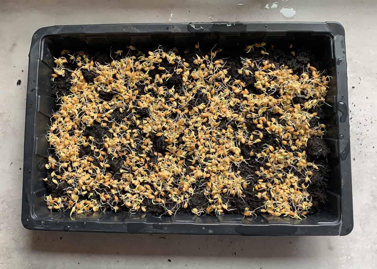 a tray filled with soil and wheatgrass seeds