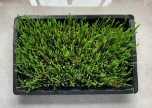 Homegrown wheatgrass in a tray