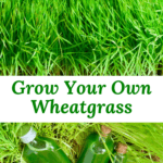 how to grow wheatgrass at home with and without soil