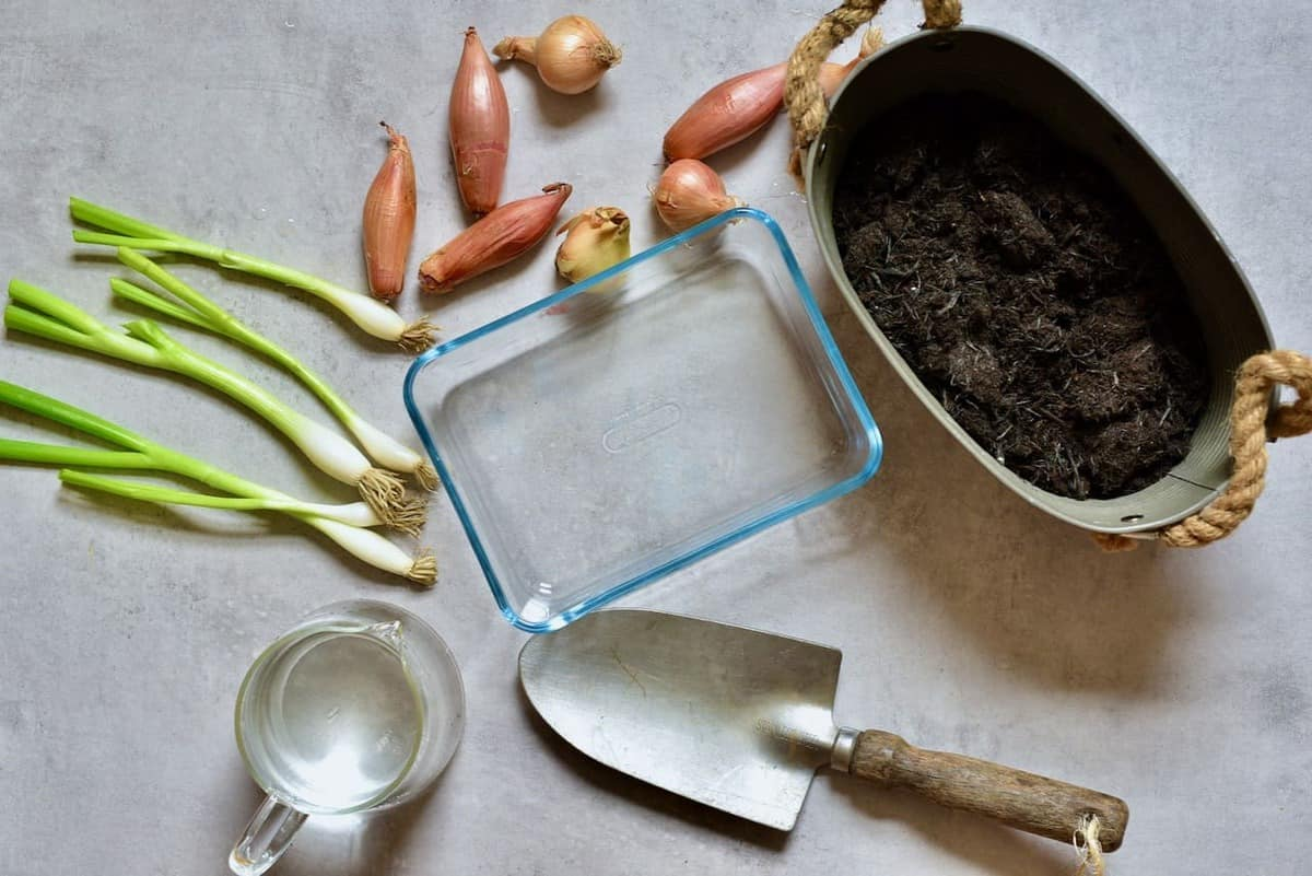 everything needed to regrow onions at home with soil