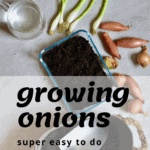 A super simple How-To for growing spring onions at home from food scraps, to re-use numerous times! Two methods that can both be done indoors, with little space and mess and no onion seeds necessary!
