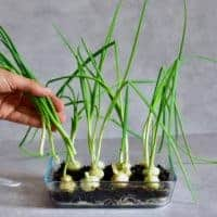 Square photo of growing onions