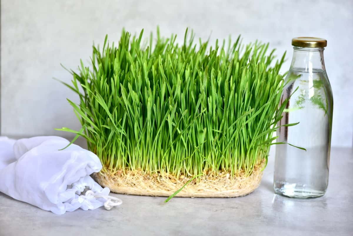 Homegrown wheatgrass and bottle of water
