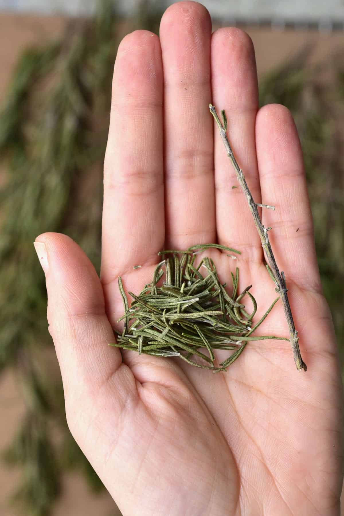 A hand holding dried rosemary