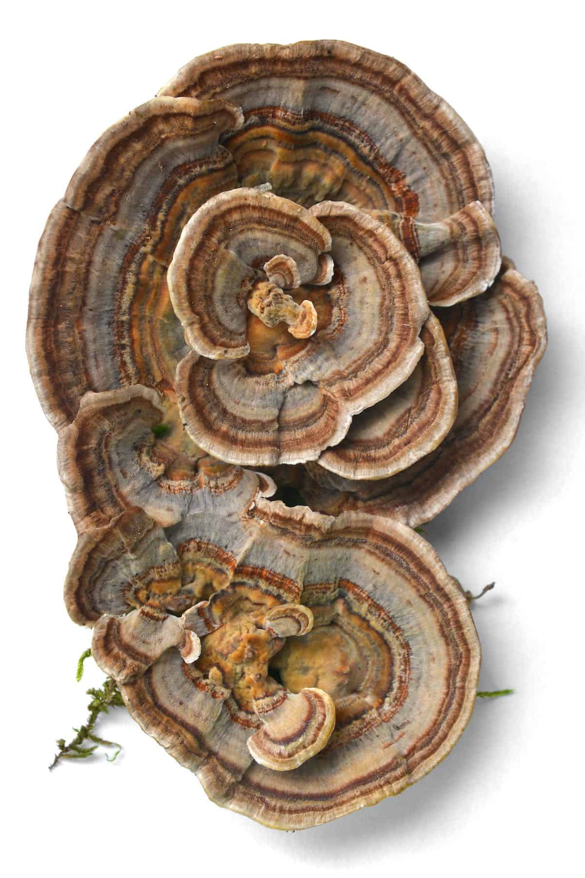 Turkey tails mushroom on a white background